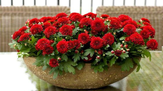 crisantemo vermelho